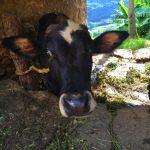 【ネパール】ヤギと牛と秋