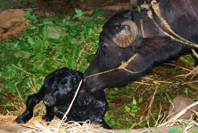 子牛とお母さん